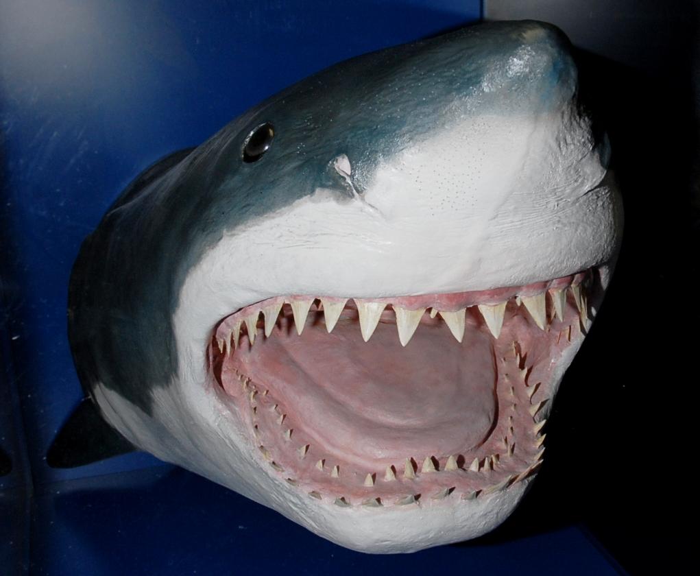 H27夏ホホジロザメ頭部剥製[1]